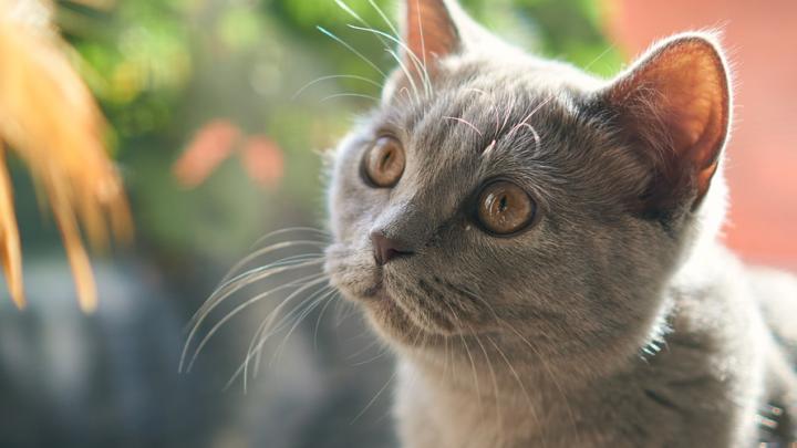 Les chats préfèrent les humains à leurs croquettes… pour de vrai!
